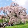 神代桜、三春滝桜、薄墨桜。記憶をたどり、気分だけでもお花見を。