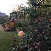 秋のバラ園めぐり