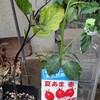 トマトの脇芽を苗床に直植えする。