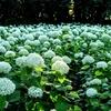 神奈川紫陽花ツーリング(相模原北公園、薬師池公園、浄慶寺、正覚寺など)
