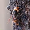 スズメバチは実際どれくらい危険なのか?スズメバチの攻撃性と対策