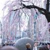 上野恩賜公園で桜を見に行ってきました!