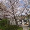 桜を見上げ考える