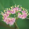 今日の誕生花「ムラサキシキブ」花より紫の実のほうが人気の花!