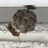 浜松市西区でベランダにできた大量の蜂の巣を駆除しました!