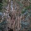高森殿の杉(阿蘇郡高森町)