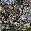【鎌倉いいね】東慶寺の春の花。