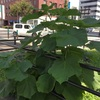 平和通り交差点の中央分離帯に桐の木が生えている