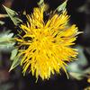 今日の誕生花「ベニバナ」染料、着色料、化粧品、サラダ油、薬などに利用!