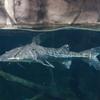 プラニセプス Sorubimichthys planiceps