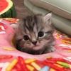 手足の短い猫さんはお好きですか!?マンチカンちゃん