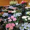 毎年恒例アジサイ祭り!! 紫陽花の品種は、今がピーク! 30品種以上そろってます!