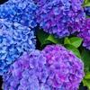紫陽花がきれいな季節に