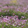 蓮華草…思いつくままに #レンゲ #ハチミツ #メダカ #自然