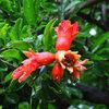 観音通り散歩 今朝は17℃・百合・ザクロの花・ねむの木公園のアジサイ・梅雨の晴れ間