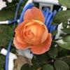 レディエマハミルトンが咲きました。 えひめAIで、布団を洗った話