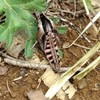 羽化したての羽が伸びる前のスズメガの成虫