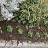 マンション花壇 植え付け