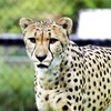 マダニ感染症でチーター死ぬ…動物の前例なし