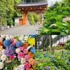 京都宇治 三室戸寺のあじさい庭園が見頃に(2020年)