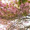 花と緑じかん・八重桜・つつじ【小さな幸せのひととき】#23