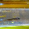 アカハライモリ幼生、餌を食べた。