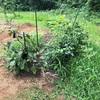 初心者の家庭菜園 久しぶりの草むしり