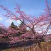 昭和記念公園の河津桜