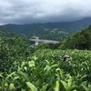 山北でお茶摘み、釜炒り緑茶と紅茶を作る
