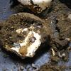 ニジイロ菌糸ビン産卵セットの結末