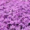 倶利伽羅不動寺の芝桜