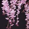 兵器庫の枝垂れ桜