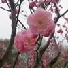 北海道神宮へ花見に行くなら気を付けなくてはいけないこと