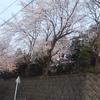 近くの公園の桜
