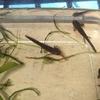 アカハライモリ幼生の成長 2