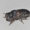 キホリハナバチ(♂)