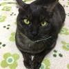 【猫との生活】アナ社長、膀胱炎になる。猫はとってもデリケート。
