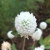 センニチソウ(千日草、別名センニチコウ(千日紅))の花