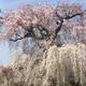 小杉食品の『福豊納豆』と、いまさらながらの桜の写真