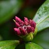 沈丁花の冬芽