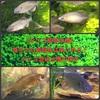 タナゴ飼育水槽真冬でも婚姻色は楽しめる!タナゴ混泳水槽の様子