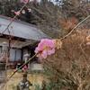 (喜連川仏教会)桜まつりに合わせた花祭りは中止となりました。