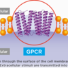 Gタンパク質共役型受容体(GPCR)