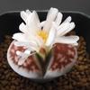 リトープスの花2