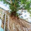 【香港:中環】 壁画アートエリアで偶然見つけた「ラピュタ」みたいな木✨