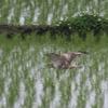 水田を飛ぶノスリ