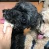 柿と梨を食べるシニア犬