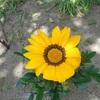 ガザニアの花が咲いたとき。