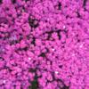 京都と大阪の桜