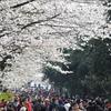 武漢大学の桜が開花、観光客いっぱい